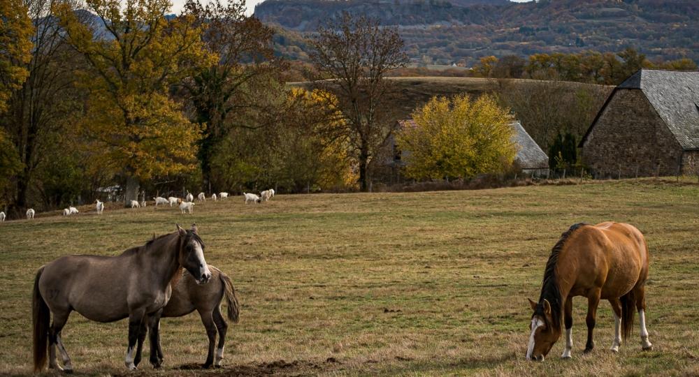 La ferme équestre de Montassou, élevage de Criollos, dans le Cantal