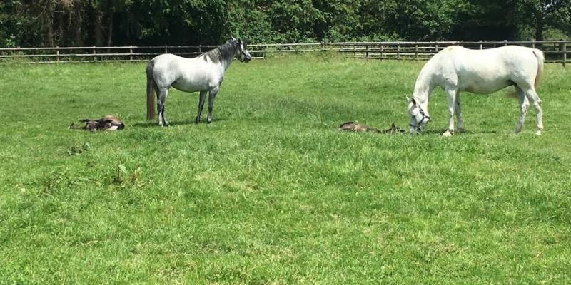 L'élevage du Rouvre, élevage de Connemara dans le Calvados est labellisé EquuRES